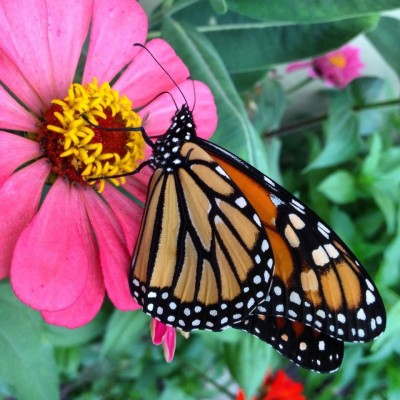 Nature - Monarch Butterfly Visit
