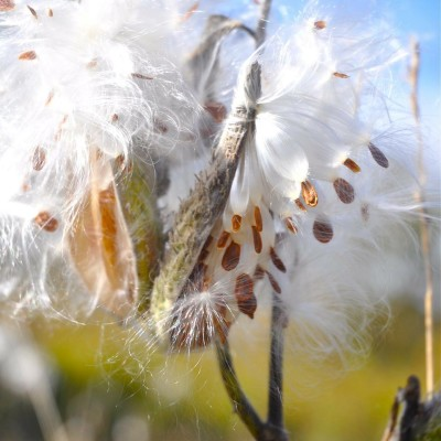 Milkweed Seeds in the Wind.